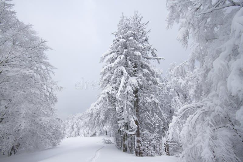 Campos nevado, árvores e abetos, inverno nos Vosges, França fotos de stock royalty free