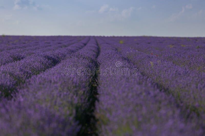 Campos perfumados florecientes de la flor de la lavanda en filas sin fin imagen de archivo