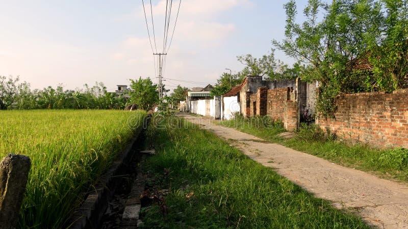 Campos pintorescos verdes del arroz en el sol de la tarde imagenes de archivo
