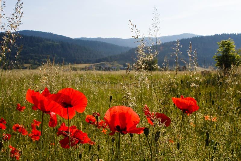 Campos rojos de la amapola y otros gras verdes en montañas en campo en Croacia fotografía de archivo