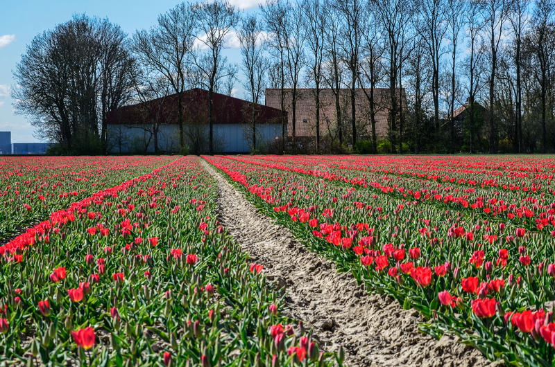 Campos rojos del tulipán fotografía de archivo libre de regalías