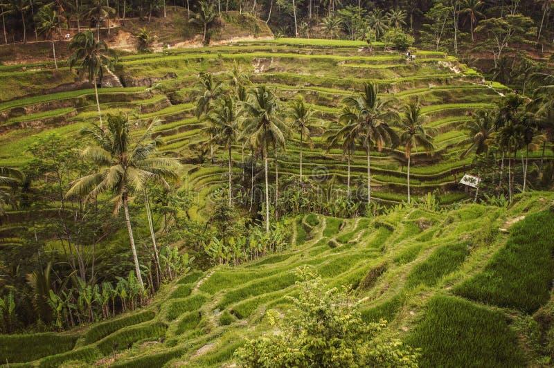 campos surpreendentes do arroz em Ubud, Bali imagens de stock