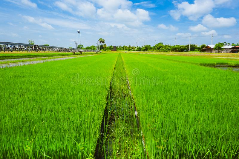 Campos tailandeses asiáticos do arroz com backgorund do céu azul fotos de stock royalty free