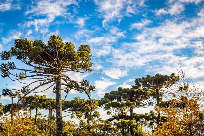 Campos tun Jordao, Brasilien Araukarienbaum, sehr tipical in der Verdichtereintrittslufttemperat stockbild