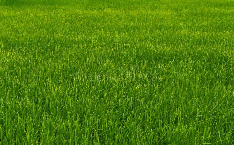 Campos verdes del arroz fotografía de archivo