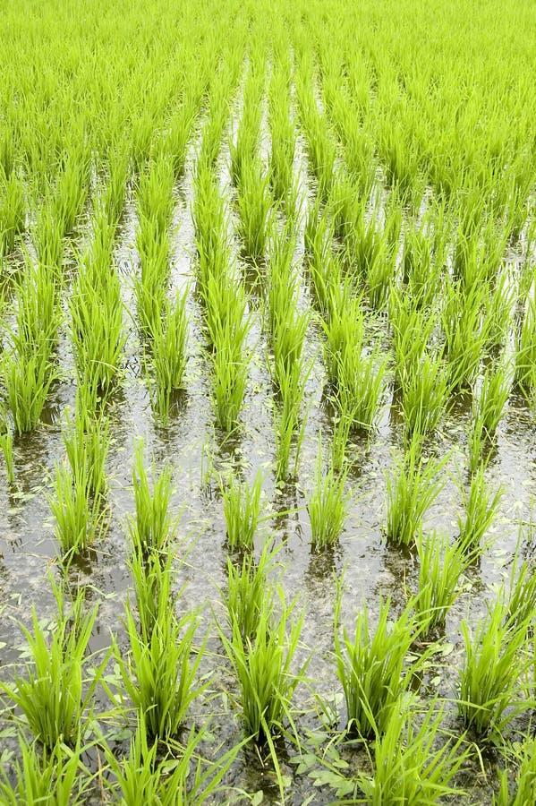 Campos verdes do arroz imagens de stock royalty free