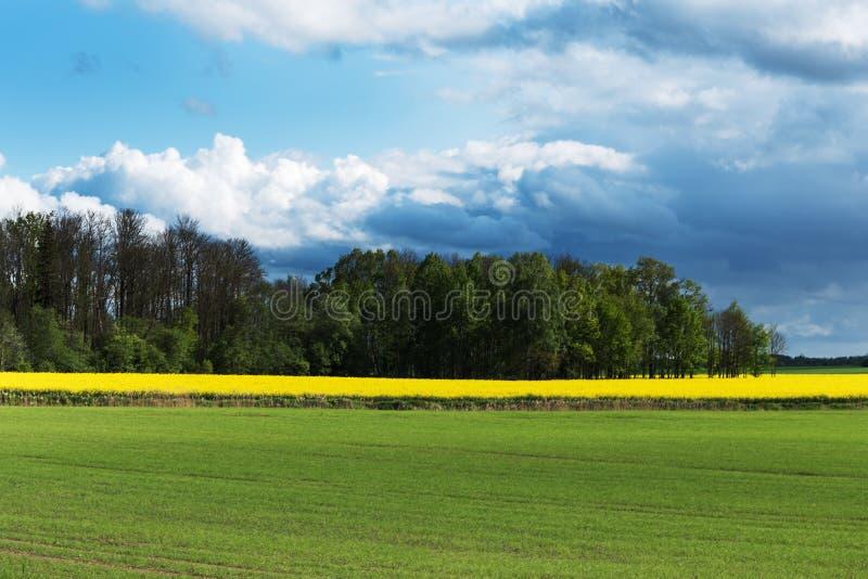 Campos verdes e amarelos na primavera letão foto de stock