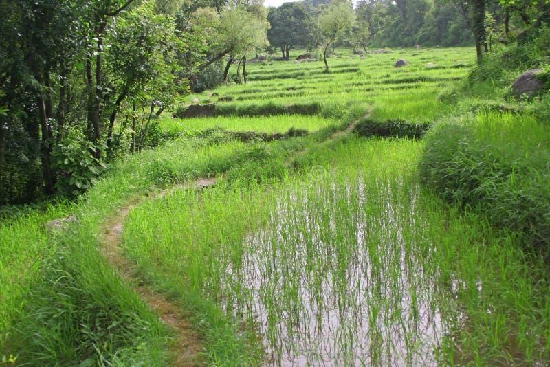 Campos verdes luxúrias do arroz & cultivo da almofada fotos de stock royalty free