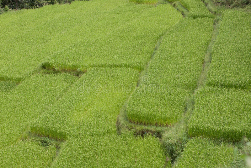 Download Campos do arroz. imagem de stock. Imagem de crescimento - 29841647
