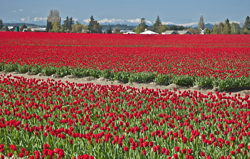 Campos vermelhos do Tulip na paisagem da mola imagens de stock royalty free