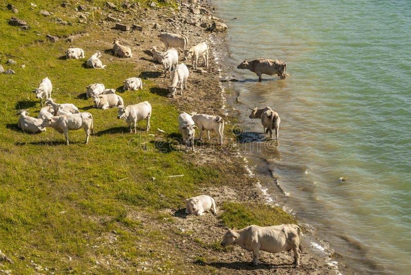 Campotosto Lake, in Abruzzi (Italy). Lake of Campotosto (L'Aquila, Abruzzi, Italy) at summer: cows stock images