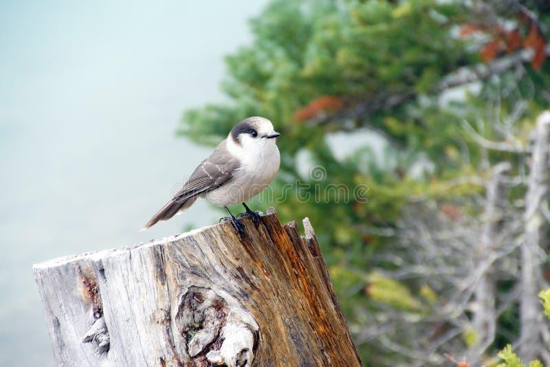 Camprobber - Gray Jay imagen de archivo libre de regalías