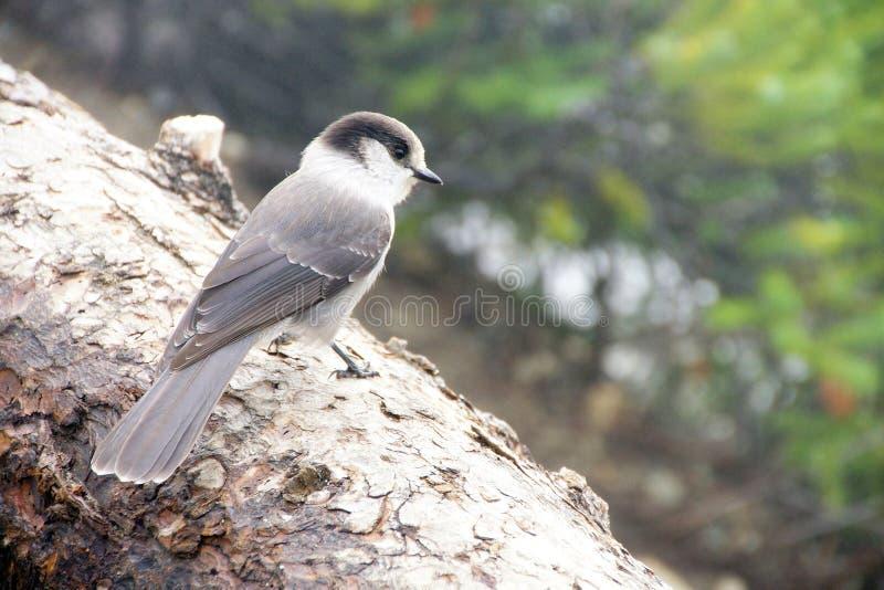 Camprobber - Gray Jay imagenes de archivo