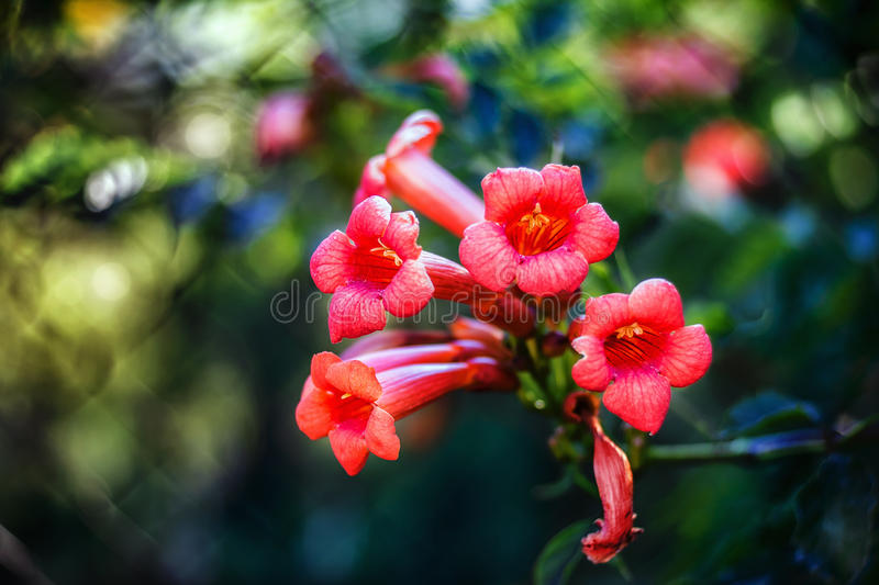 Campsis radicans flowers royalty free stock photography