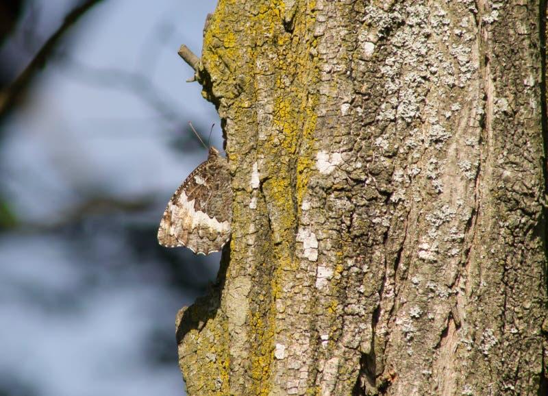 Camuflagem da borboleta na madeira fotos de stock