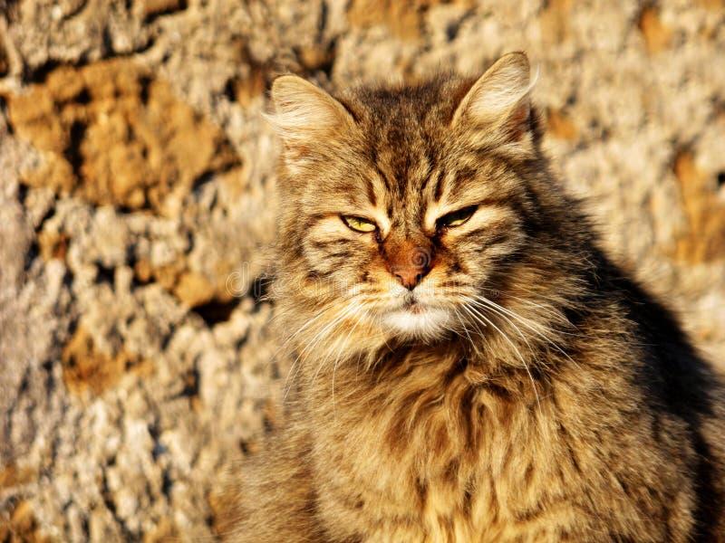 Camuflaje anaranjado rojo del gato siberiano imagen de archivo
