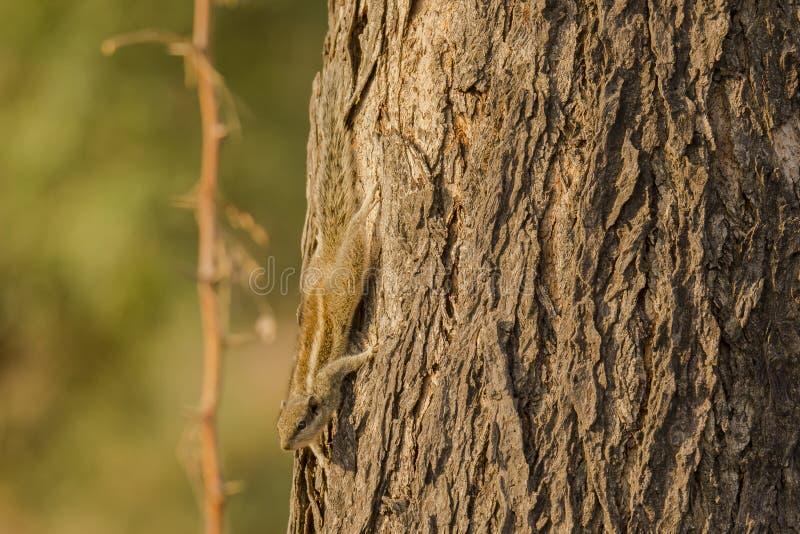 Camuflaje Cinco-rayado del árbol de la ardilla de la palma fotos de archivo libres de regalías