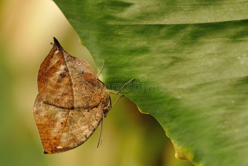 Camuflaje natural de la mariposa fotografía de archivo libre de regalías
