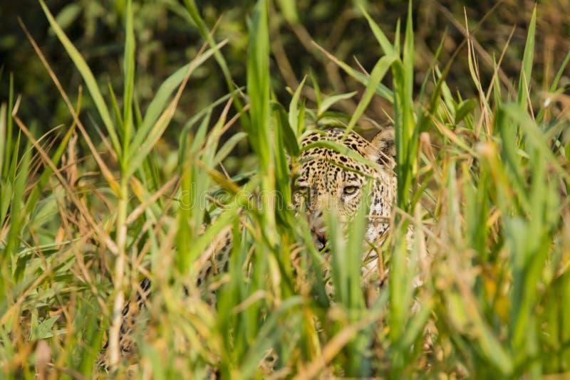 Camuflaje: Ojos salvajes de Jaguar que miran a través de hierba alta foto de archivo