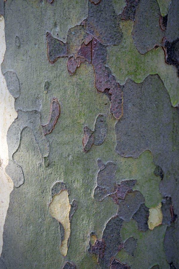 Camufle el modelo de la corteza de un árbol del platanus imágenes de archivo libres de regalías