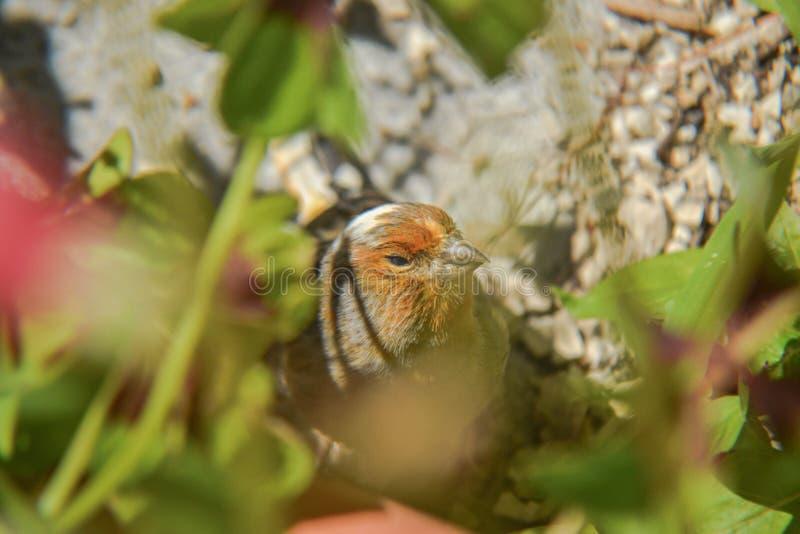 Canário alaranjado pequeno do pássaro escondido na grama foto de stock