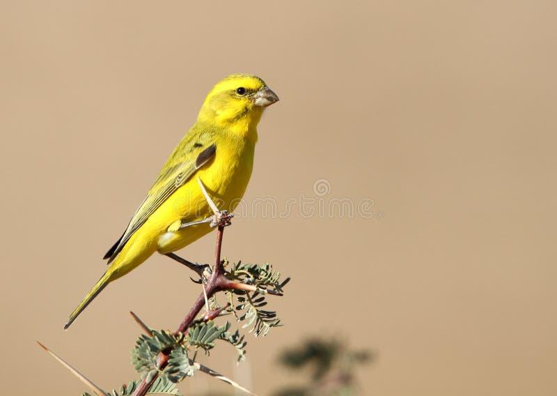 Canário amarelo imagem de stock