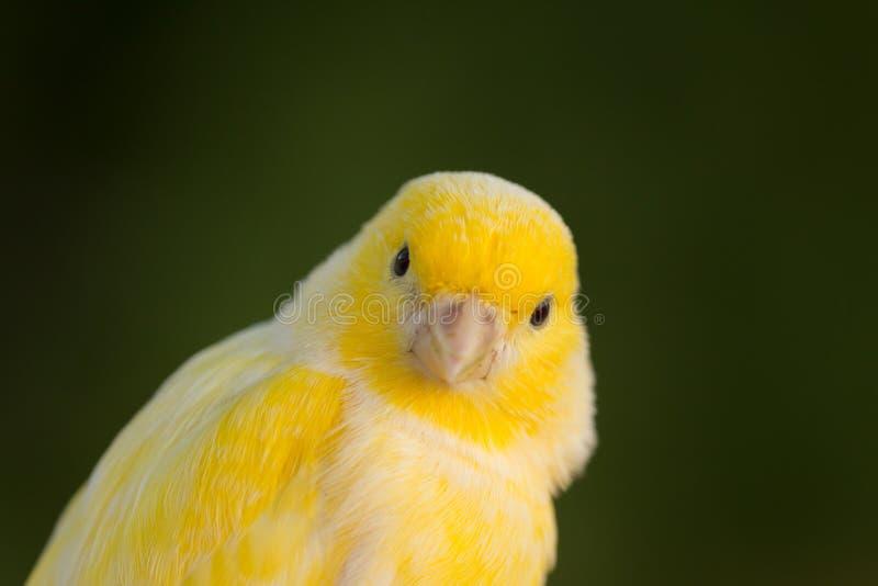 Canário amarelo bonito imagens de stock
