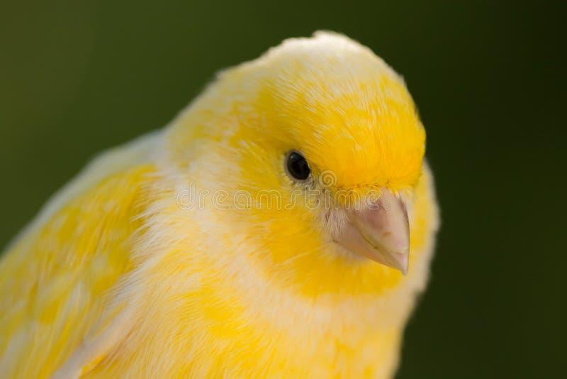 Canário amarelo bonito fotografia de stock