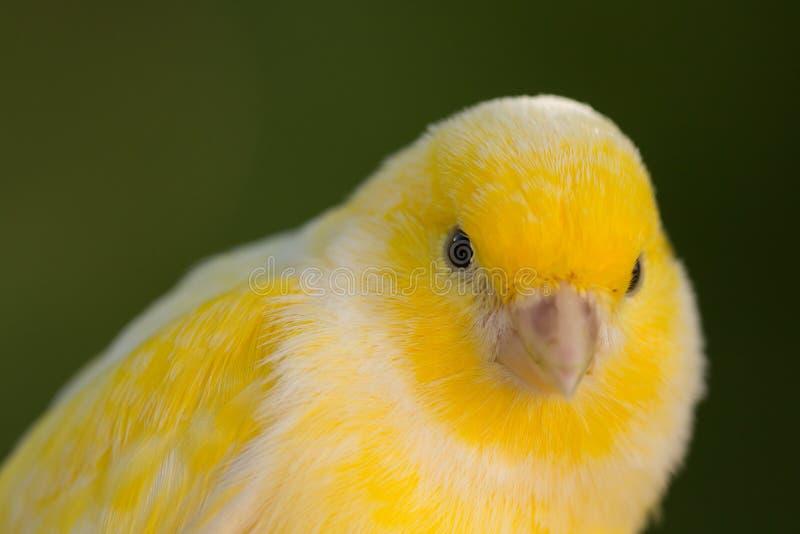Canário amarelo bonito foto de stock