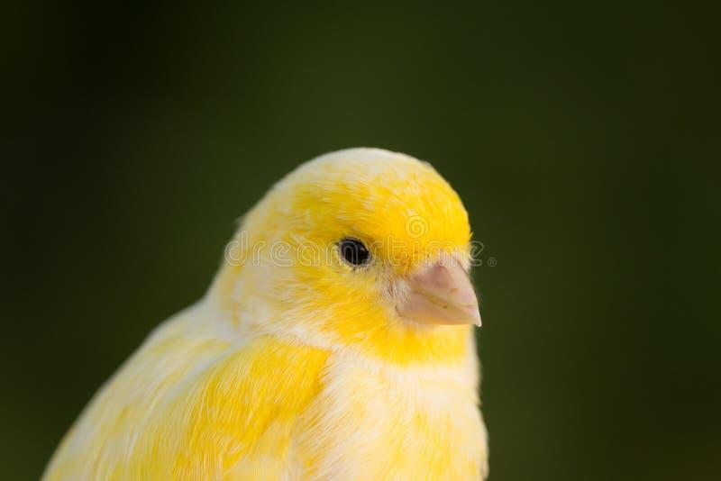 Canário amarelo bonito fotografia de stock royalty free