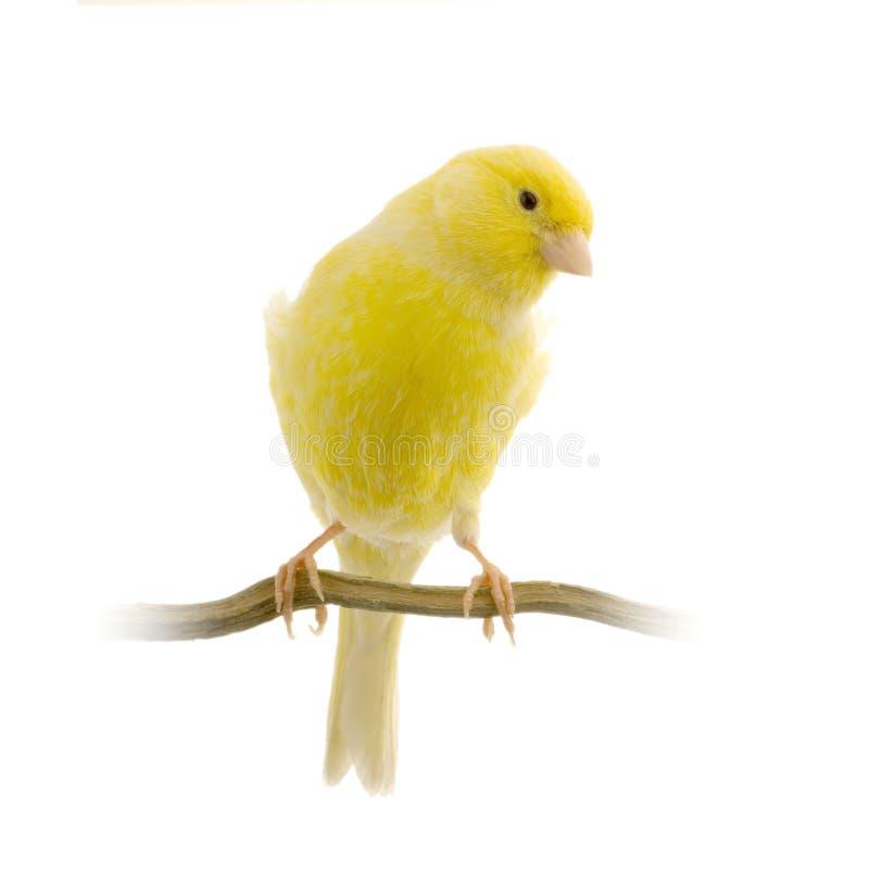 Canário amarelo em sua vara foto de stock royalty free