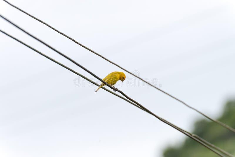 Canário amarelo empoleirado em uma linha elétrica elétrica imagem de stock