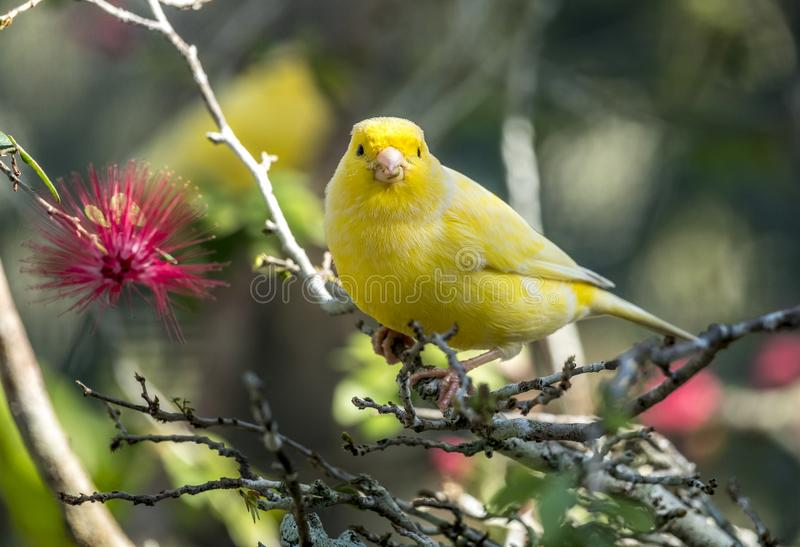 Canário amarelo, flaviventris de Crithagra imagens de stock