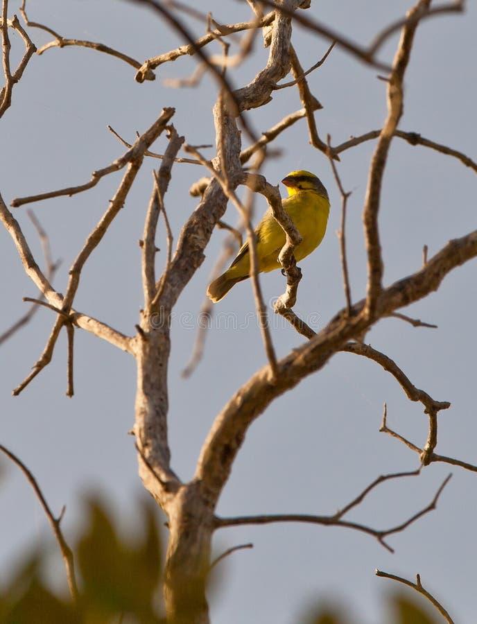 canário Amarelo-fronteado imagem de stock