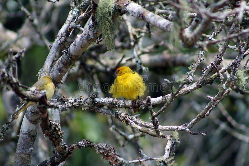 Canário Amarelo. Pássaro Canário Amarelo com a plumagem arrepiada em meio aos galhos secos de árvore royalty free stock photo