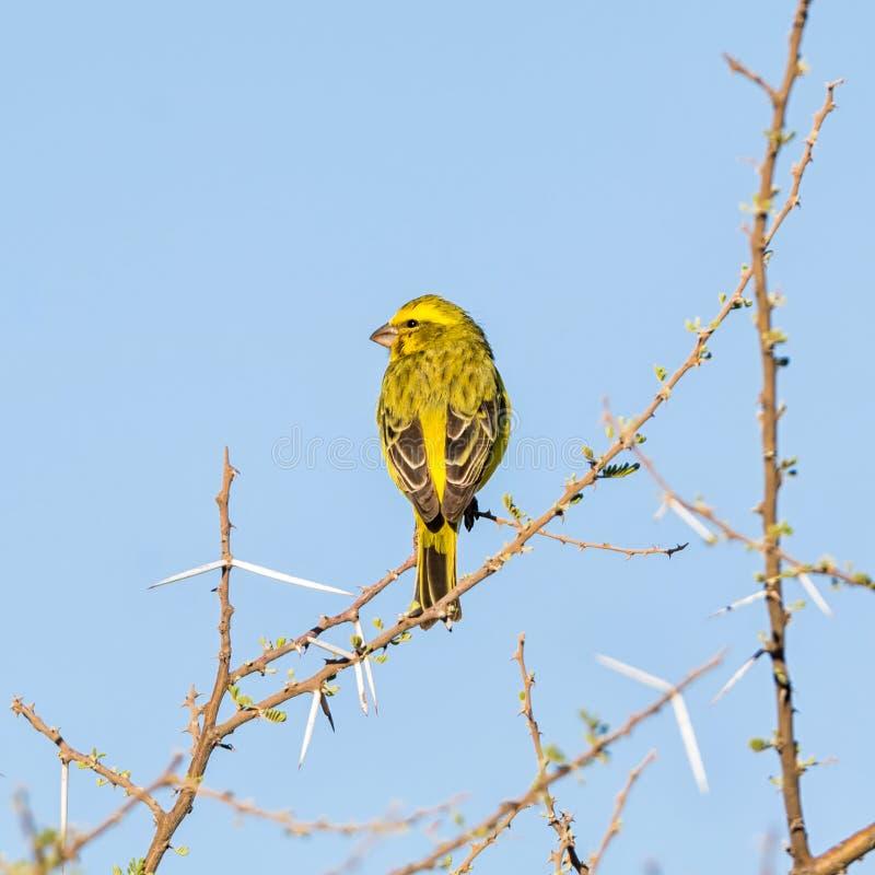 Canário amarelo selvagem imagens de stock royalty free