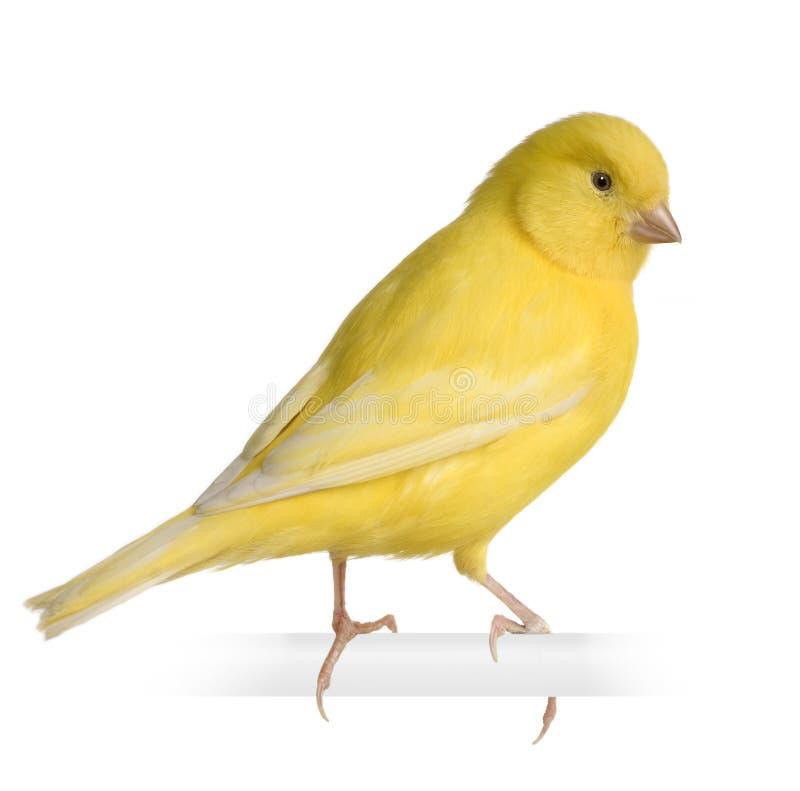 Canário amarelo - Serinus canaria em sua vara imagem de stock