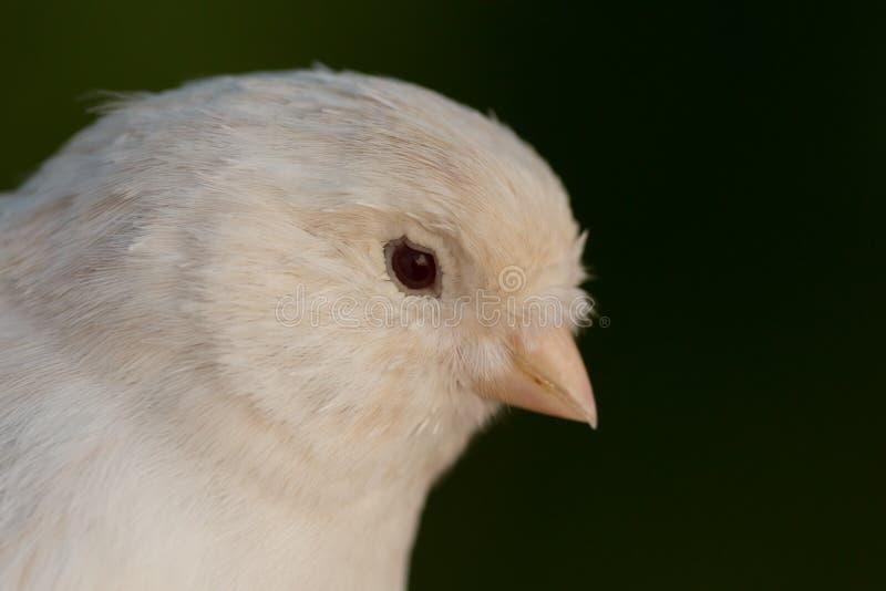 Canário branco bonito fotos de stock