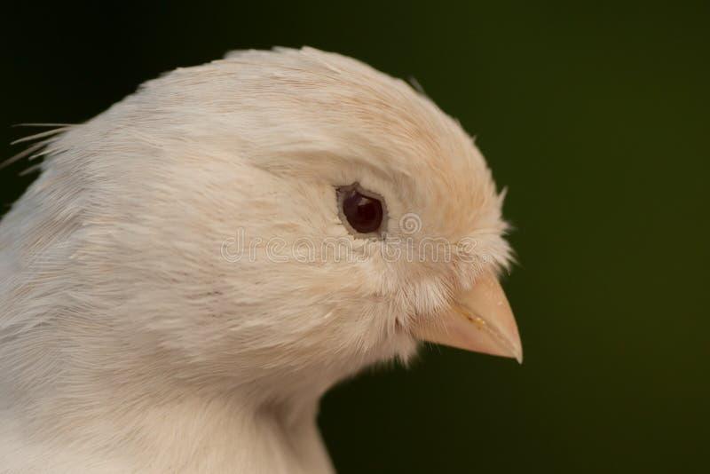 Canário branco bonito foto de stock