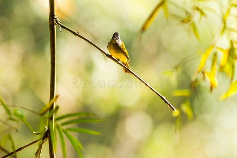 Canário-papa-moscas Cinzento-dirigido imagem de stock royalty free
