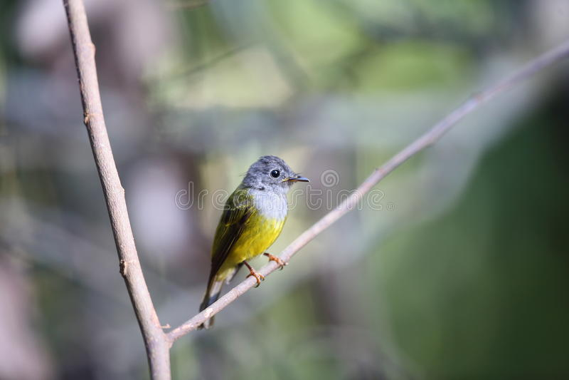 Canário-papa-moscas Cinzento-dirigido imagens de stock royalty free