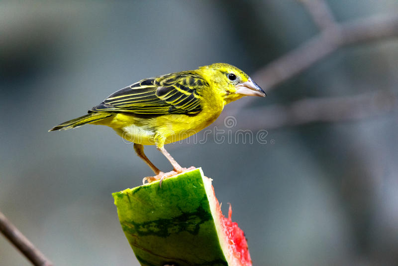Canário selvagem amarelo brilhante que alimenta na melancia imagem de stock