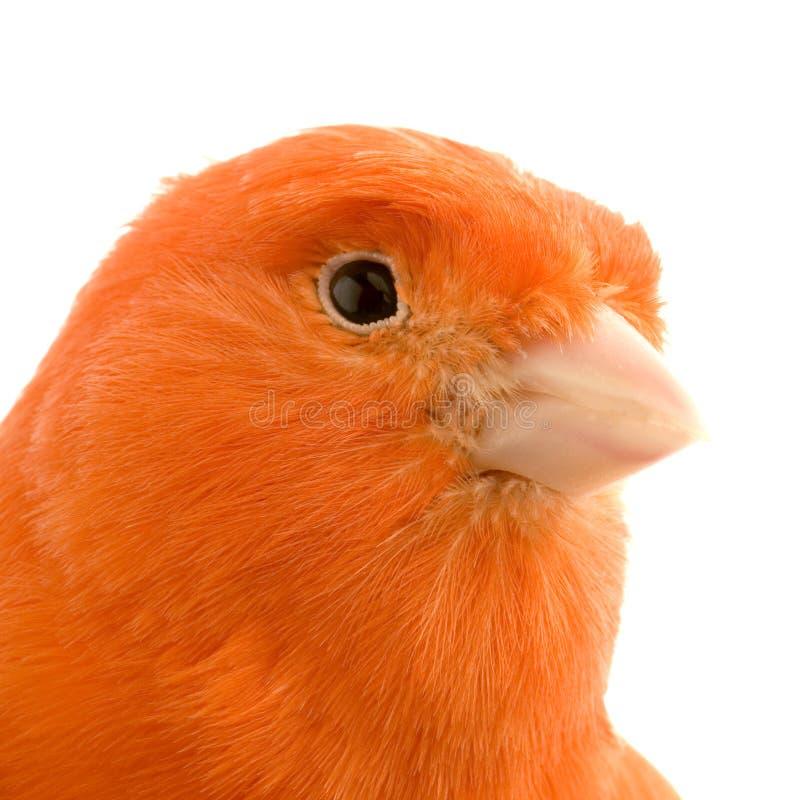 Canário vermelho em sua vara imagem de stock royalty free