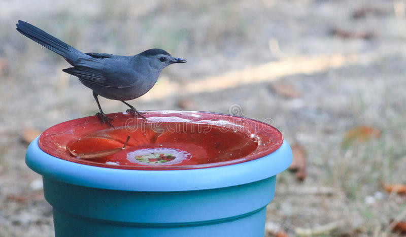 Can I go in the pool now?. Catbird-Dumetella posed on a red bath asking if he can go in the pool royalty free stock images