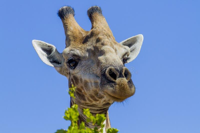 Can I help you? - Kruger National Park. Curious Giraffe - Kruger National Park royalty free stock photo