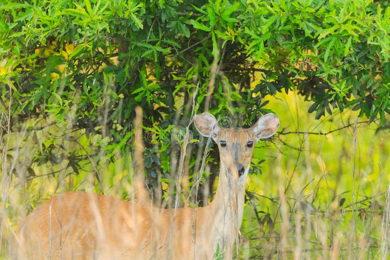 Can You see Me?. A female Deer in the brush at the Bald Knob Wildlife Refuge locater in Bald Knob, Arkansas 2017 stock image