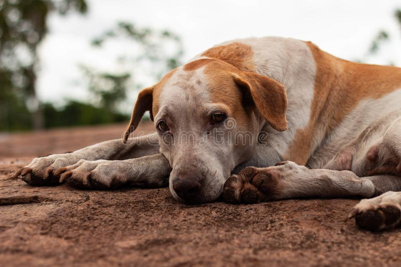 Can you see the sadness in the eyes?. Old dog, abandoned .. looks so sad. Could you show some compassion ? Is it hungry royalty free stock image