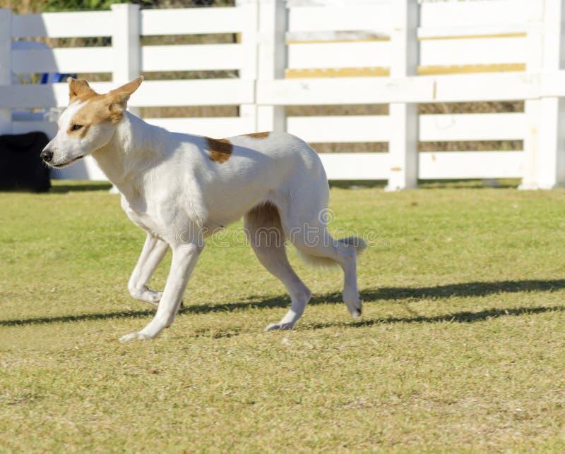canaan σκυλί