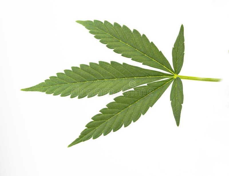 Canabis Blatt stockfoto