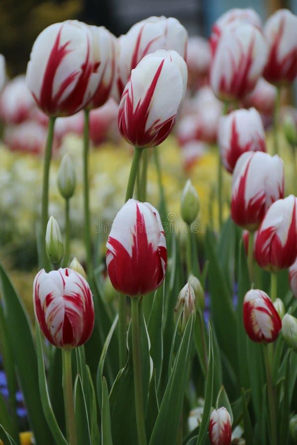 Canadá 150 tulipas imagem de stock royalty free